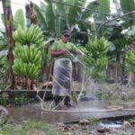 Aproape toți cetățenii din două țări au sângele otrăvit din cauza bananelor stropite cu pesticide
