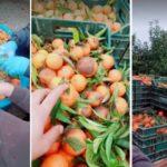 """Români plătiți să spele mandarine cu detergent de vase în Italia: """"Ia uitați ce cumpărăm"""""""