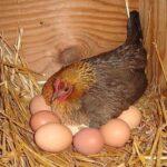 Ce a găsit un fermier sub o găină care nu se mai ridicase zile la rând de pe cuib. Ce ţinea ascuns sub ea. NU, nu este un OU!
